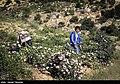 Picking rose to make Golab in Fars 04.jpg