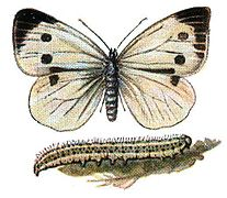 Pieris brassicae Meyers.jpg
