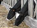 PikiWiki Israel 2142 Cows in a kibbutz Israel פרות ברפת בסעודה דשנה.jpg