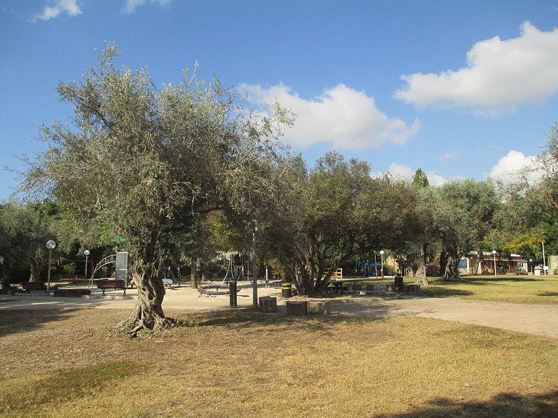 עצי זית בקיבוץ בית העמק