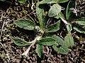 Pilosella officinarum 2021-09-08 1469.jpg