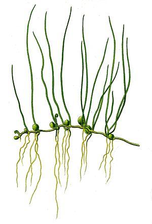 Marsileaceae - The European species Pilularia globulifera bearing sporocarps.