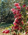 Pink callistemon whose name I have forgotten for now - panoramio.jpg