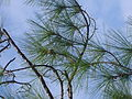 Pinus elliottii leaves.JPG