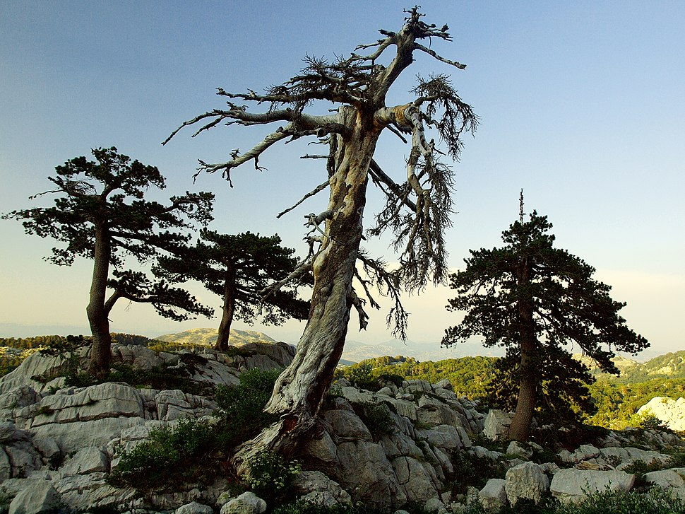 Pinus heldreichii Bijela gora above Borovi do