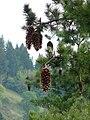 Pinus lambertiana opencones.jpg