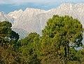 Pinus roxburghii Dharamsala 1.jpg