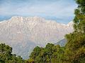 Pinus roxburghii Dharamsala 2.jpg