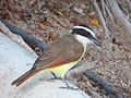 Pitangus sulphuratus-- the Greater Kiskadee (23924389104).jpg