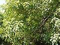 Pittosporum wightii (17080884237).jpg