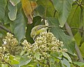 Plain-throated Sunbird - female - Flickr - Lip Kee.jpg