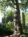 Plane tree Guneschgasse 4 01.JPG