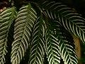 Plant Fern P1120347 07.jpg
