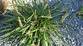 Plantago maritima plant (20).jpg