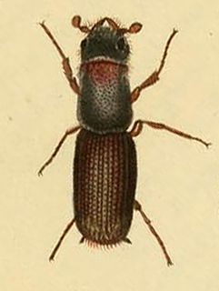 <i>Platypus cylindrus</i> Species of beetle