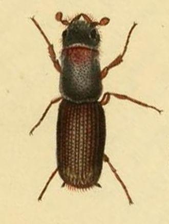 Platypodinae - Platypus cylindrus