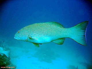 Coral trout species of fish
