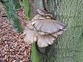 Pleurotus ostreatus 108293038.jpg