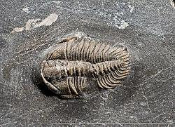 Steingervingur