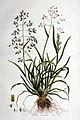 Poa annua — Flora Batava — Volume v1.jpg