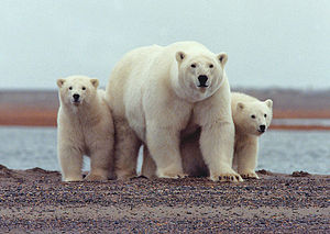 White - Image: Polar bear with young ANWR