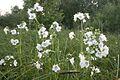 Polemonium caeruleum - img 02547.jpg