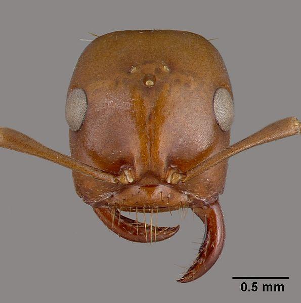 File:Polyergus rufescens casent0010688 head 1.jpg