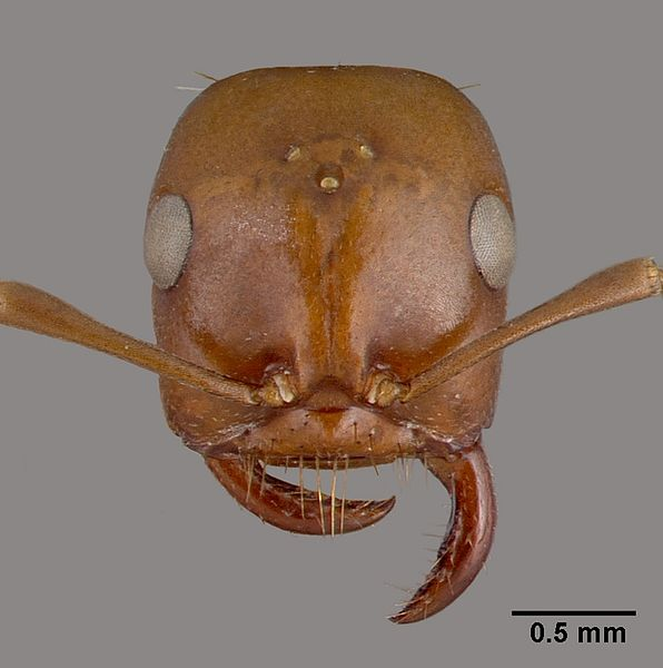 Head view of ant Polyergus rufescens specimen casent0010688.