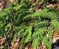 Polypodium virginianum3.jpg
