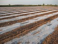Polythene crop propagation, Naunton - geograph.org.uk - 1270707.jpg