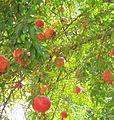 Pomegranate Mardanaqom.jpg