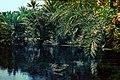 Pond at Qatif Nestor sander 1950s.jpg