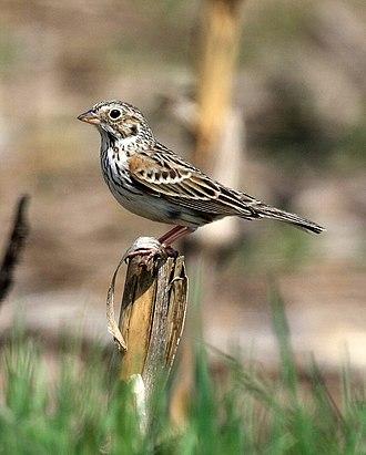 Vesper sparrow - Image: Pooecetes gramineus USA 8