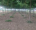 Poplar Plantation - panoramio (4).jpg