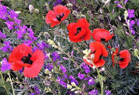 Poppies and doubtful knight's spurs.jpg
