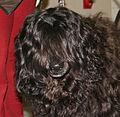 Portugalski pies dowodny głowa 34e.jpg
