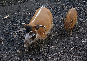 Red river hog - Female with juvenile