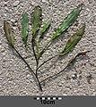 Potamogeton nodosus sl3.jpg