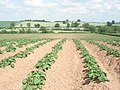 Potato crop at Prickley Farm - geograph.org.uk - 456694.jpg
