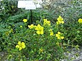 Potentilla chinensis1.jpg