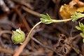 Potentilla subviscosa - Flickr - aspidoscelis (3).jpg