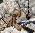 Praying Mantis. Mantis religiosa (32767533875).jpg