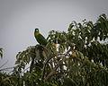 Prioniturus flavicans -North Sulawesi, Indonesia-8.jpg
