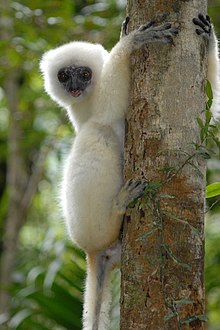 A silky sifaka on the trunk of a tree
