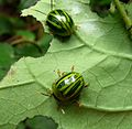 Proseicela antennalis. Chrysomelidae - Flickr - gailhampshire.jpg