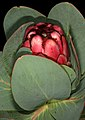 Protea grandiceps 1DS-II 1-8122.jpg