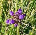 Prunella grandiflora in PNR Pyrenees ariegeoises 02.jpg