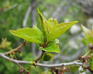 <i>Prunus brigantina</i> species of plant