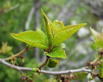 Prunus brigantina - Image: Prunus brigantiaca 20052002 2