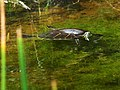 Pseudemys peninsularis Black Point Wildlife Drive, Merritt Island FL - Flickr - Rusty Clark (96).jpg